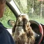 Собака-водитель