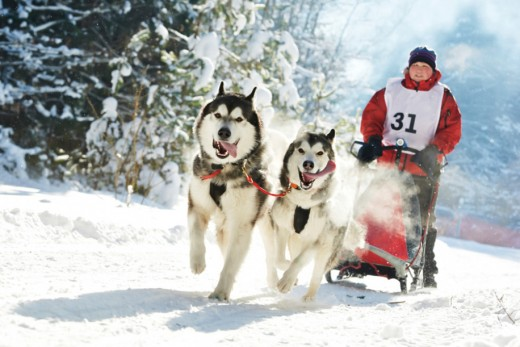 Рождественская гонка на собачьих упряжках прошла во Владивостоке