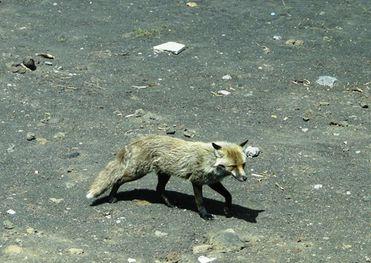 На улицах города Тверь появилась дикая лиса