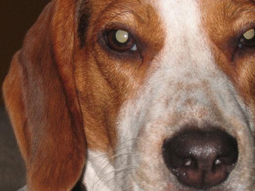 В Китае создали сверхмощных собак-мутантов