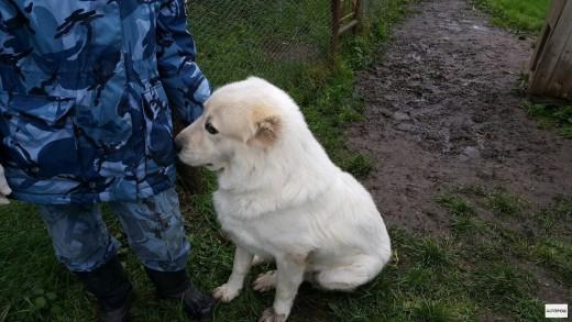 В Сыктывкаре пристраиваются списанные со службы собаки