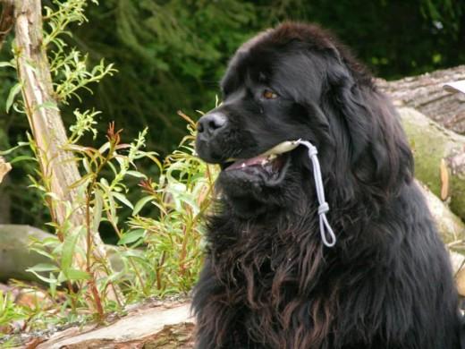Самая быстрая в мире собака-спасатель в воде