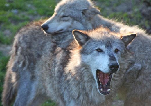 Волки говорят на разных «диалектах»