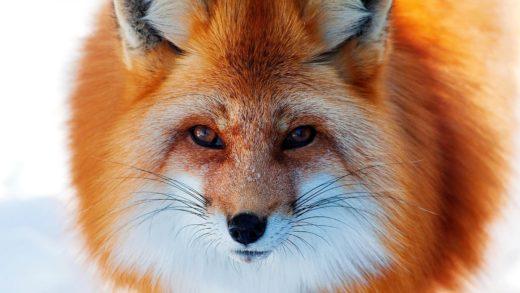Русский генетик сумел одомашнить лис