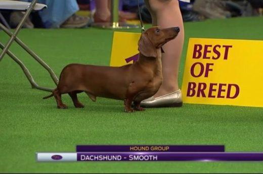 Такса из Смоленска победила на легендарной выставке собак в Нью-Йорке
