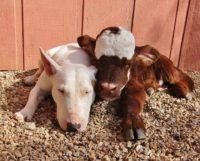 Спасенный теленок подружился с собаками