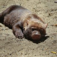 Щенки вымирающей собаки с перепонками на лапах позируют новосибирским фотографам