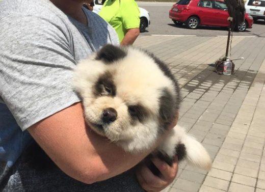 Панда, с которой туристам в Сочи предлагали сделать фото, оказалась щенком