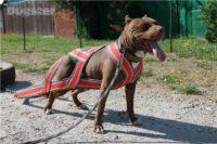 В Перми впервые пройдет чемпионат для собак-тяжелоатлетов