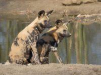 Гиеновидные собаки голосуют чиханием