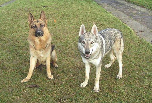 Ученые: Собаки при эксперименте проявили больший эгоизм, чем волки