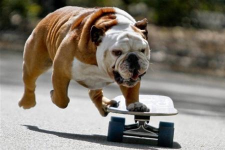 Житель Перу научил бульдога кататься на скейтборде