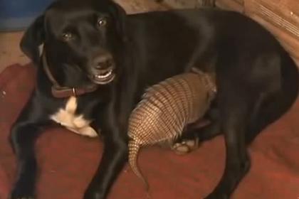 Собака стала приемной матерью новорожденным броненосцам