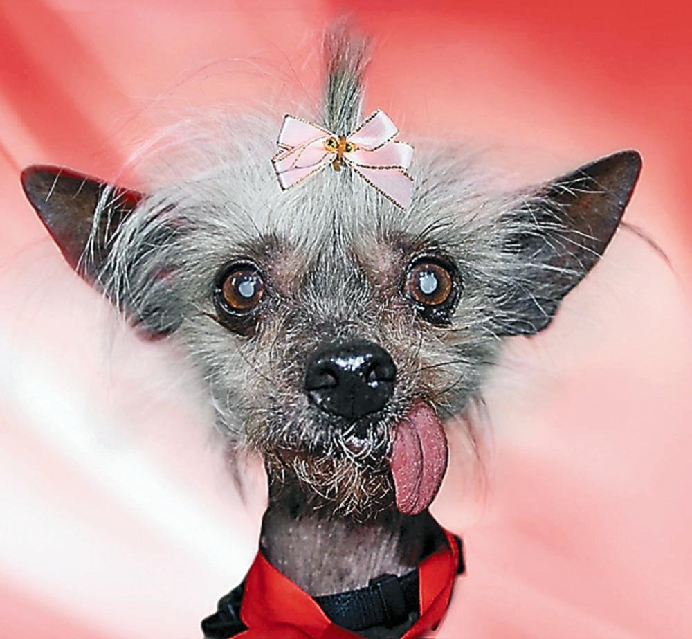 Самые уродливые собаки планеты соберутся на конкурс красоты
