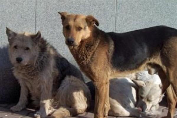 Румынский парламент проголосовал за усыпление бродячих собак